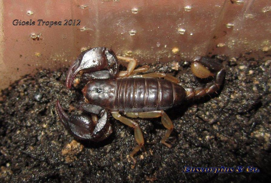 Euscorpius celanus maschio