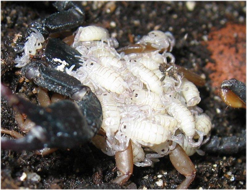Euscorpius flavicaudis con prole