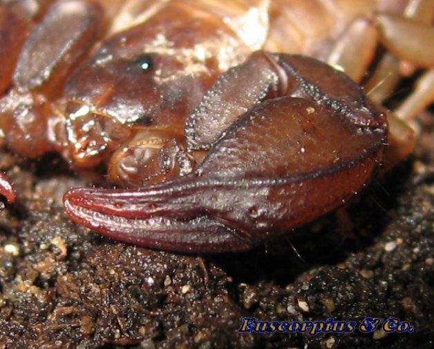 Chella di Euscorpius sicanus femmina